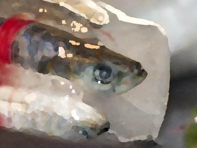 Sardines -2 | hoogglans laminaatprint geplakt op aluminium | 100 x 76 cm | 8 stuks